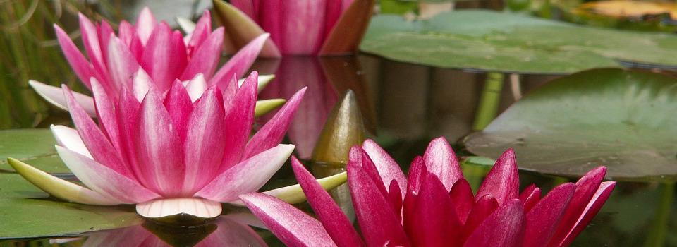sophrologie_pour_moi_fleurs-lotus